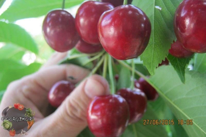 Сорт черешни валерий чкалов: описание с фото, отзывы