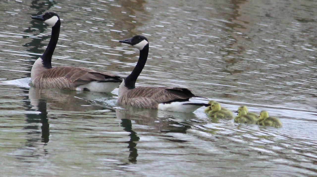 Серый гусь - описание вида, места гнездования, питание, особенности