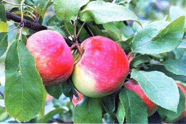 Яблоня грушовка московская
