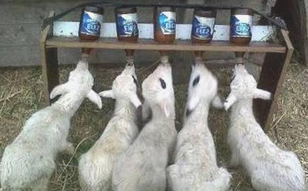 Как и чем кормить ягненка если его не кормит овца