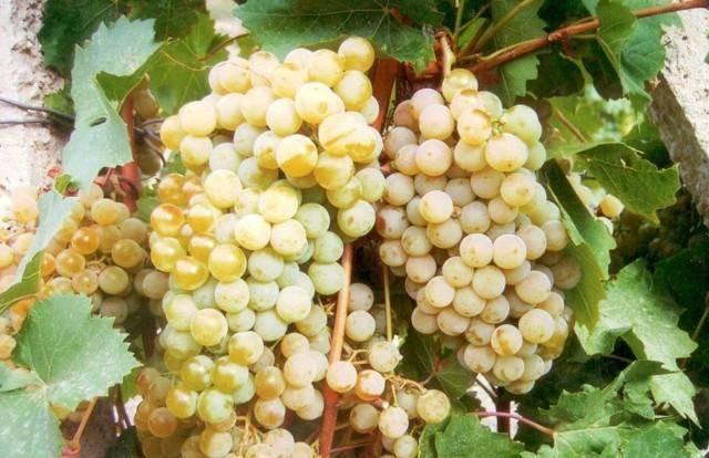 Виноград цитронный магарача: описание сорта, характеристика и фото selo.guru — интернет портал о сельском хозяйстве
