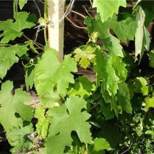 Филлоксера винограда: меры борьбы, причины и лечение