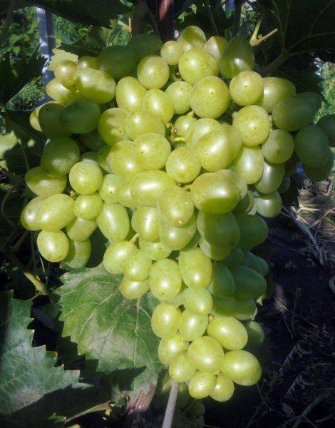 """Виноград """"надежда аксайская"""": описание сорта, фото, отзывы"""