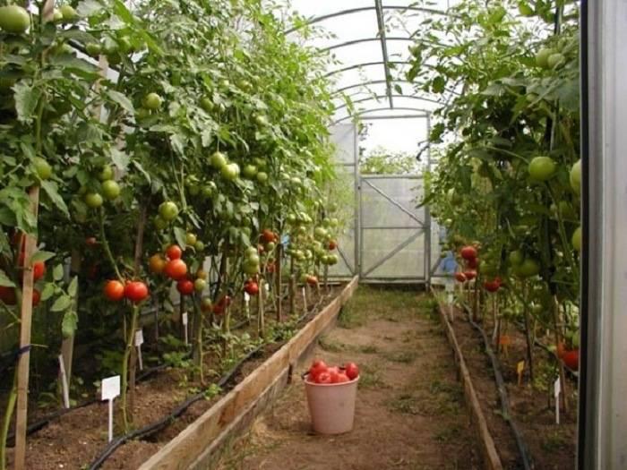 Как правильно подвязывать помидоры в теплице фото   вырасти сад!