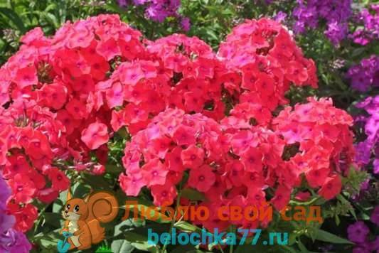 Многолетние флоксы (71 фото): посадка и уход в открытом грунте. описание сортов цветов-многолетников. болезни и их лечение