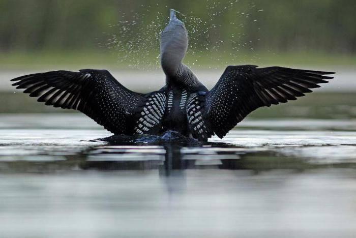 Турпан — горбоносая грустная утка и её особенности