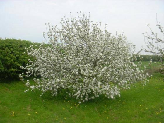 Летний сорт с хорошей лёжкостью —  яблони чудные