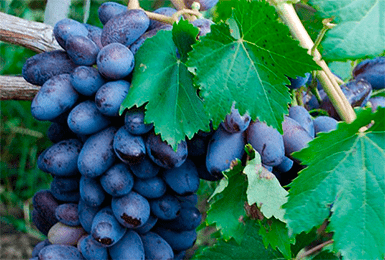 Виноград байконур: описание, отзывы, характеристика