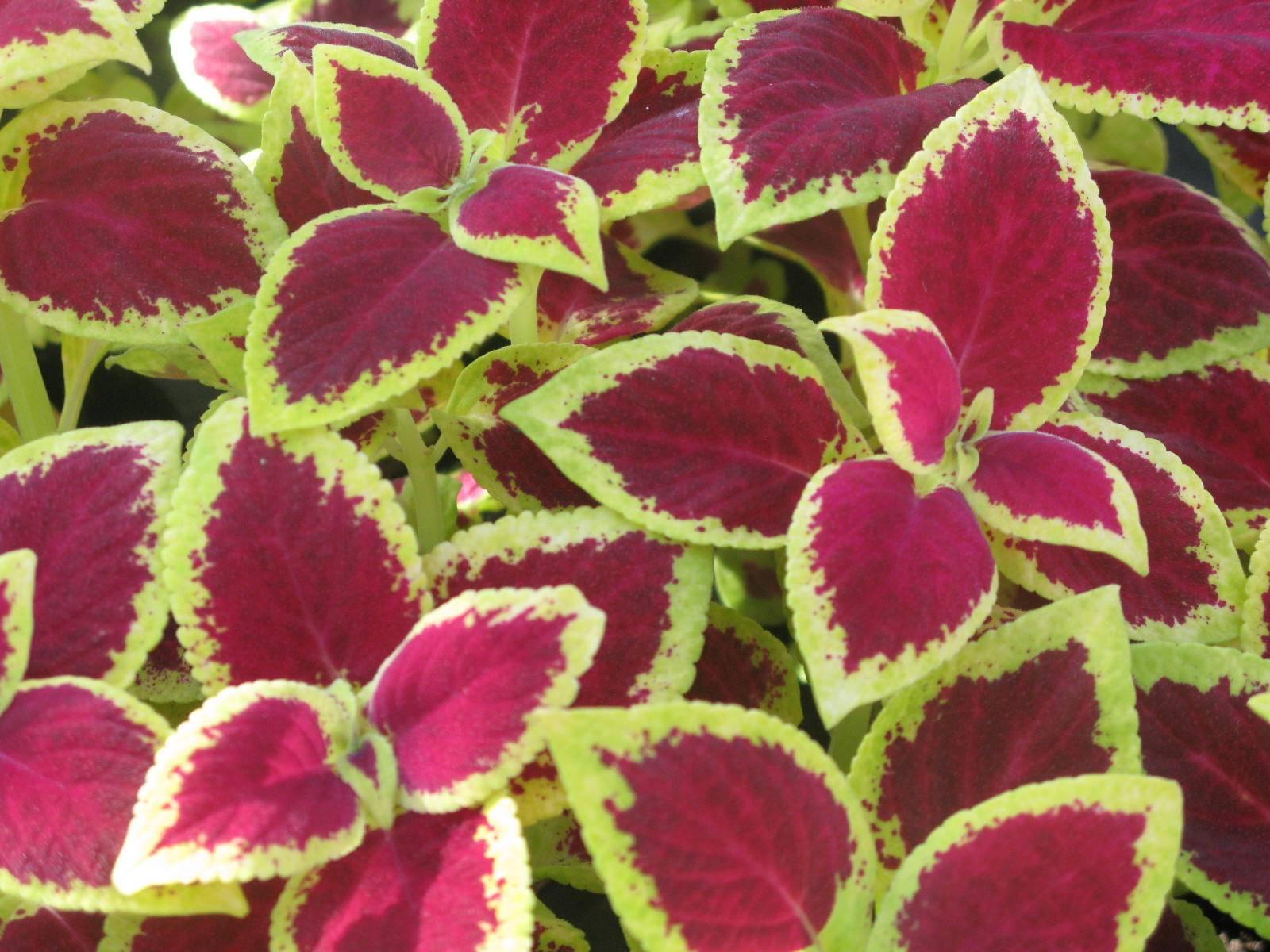 Выращивание колеуса в домашних условиях, сорта и фото