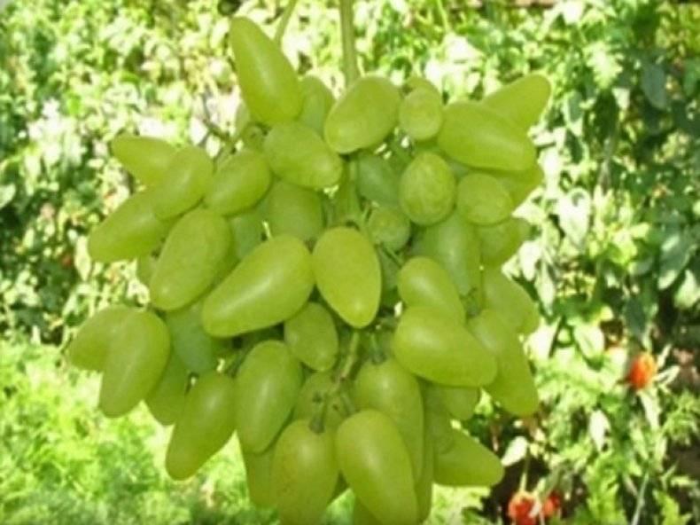 Стабильный и неприхотливый: сорт винограда белое чудо