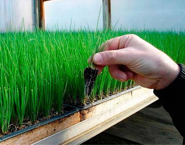 Выращивание лука-батуна из семян на подоконнике или балконе дома: можно ли вырастить, как посадить пошагово в горшке, а также уход и условия содержания