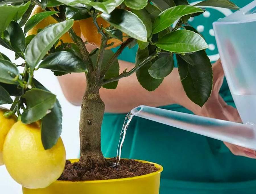 Как ухаживать за лимоном в домашних условиях в горшке - способы посадки, обработки, подкормки и оптимальные условия для содержания (120 фото)