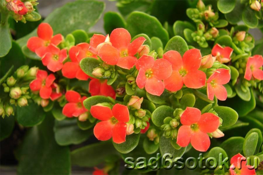 Как выглядит каланхоэ: фото, описание видов, уход и выращивание в домашних условиях - sadovnikam.ru