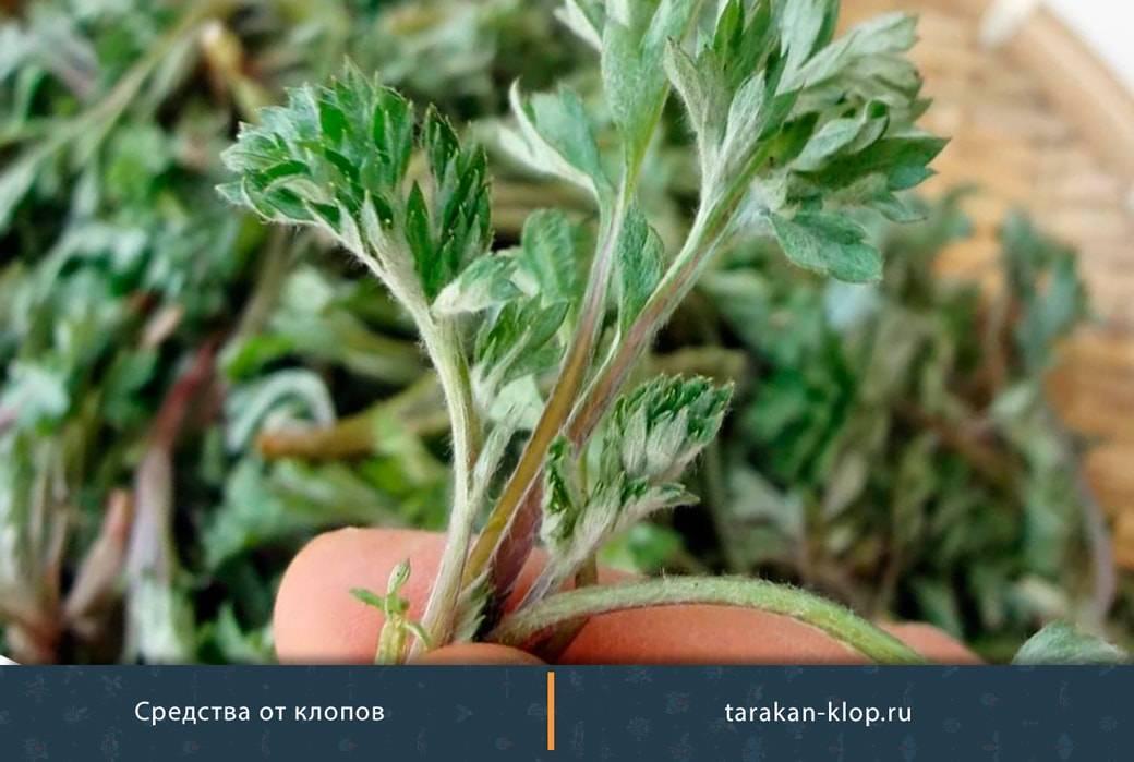 Полынь горькая: лечебные свойства и противопоказания, трава, лечение, применение, однолетняя, что лечит отвар