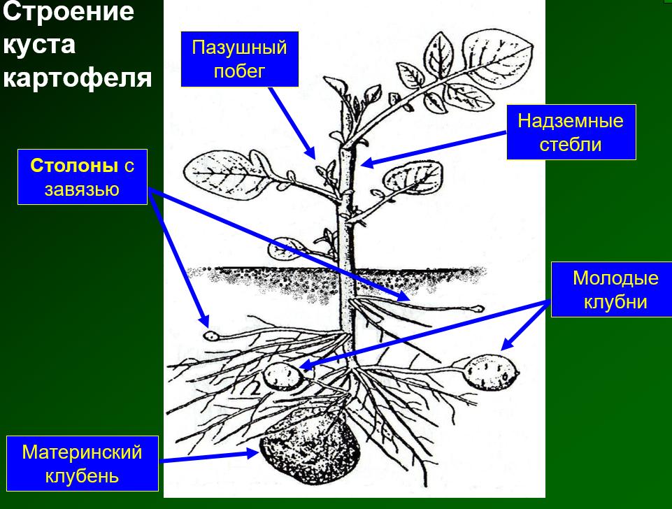 Способы выращивания картофеля русский фермер
