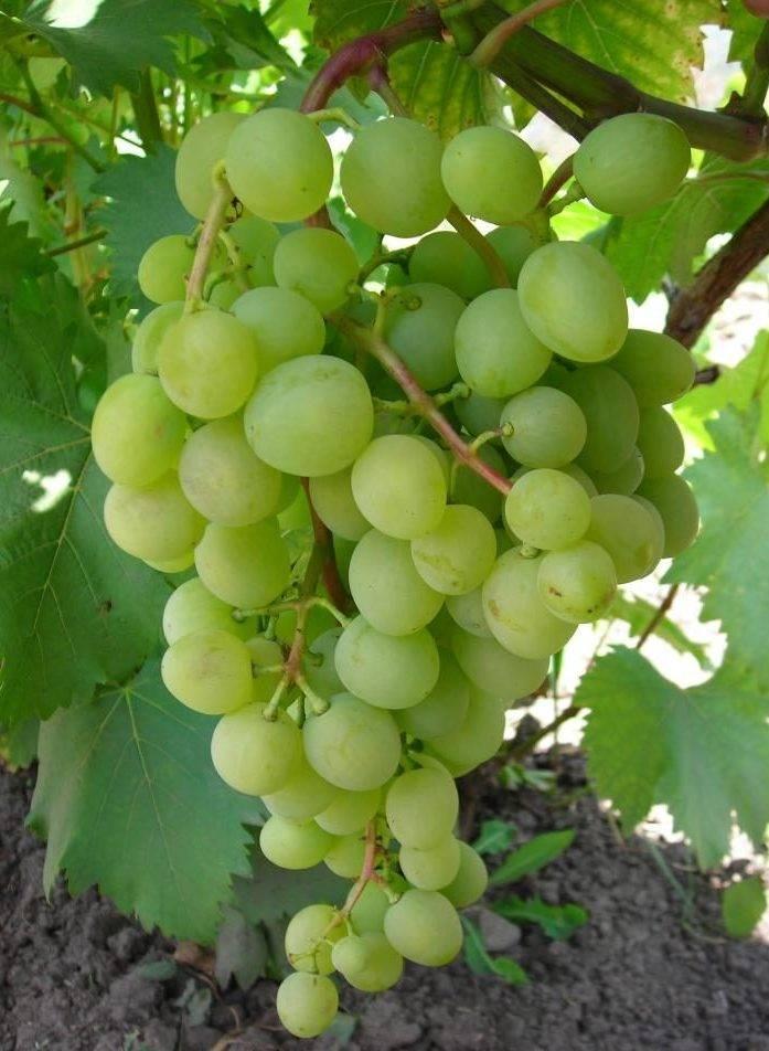 Виноград белое чудо: краткое описание сорта и его особенности