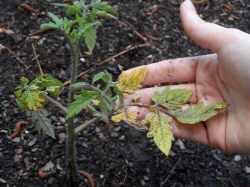 Чем болеет рассада помидоров? что делать, если листья скручиваются вниз или вверх, сохнут и опадают?