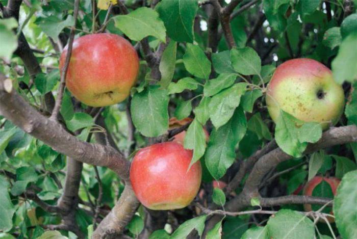 Карликовая яблоня «чудное»: посадка и уход, описание, фото