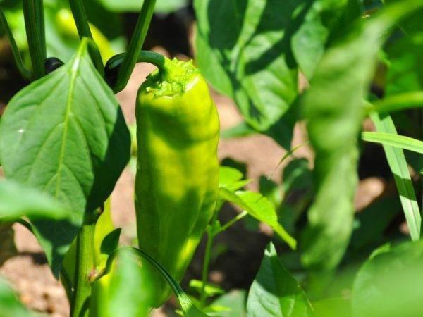 Перец сладкий купец, внешнее описание, положительные и отрицательные качества, выращивание