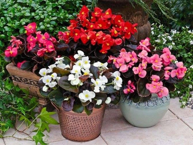 Бегония (begonia). жизненный цикл, виды, уход.   floplants. о комнатных растениях