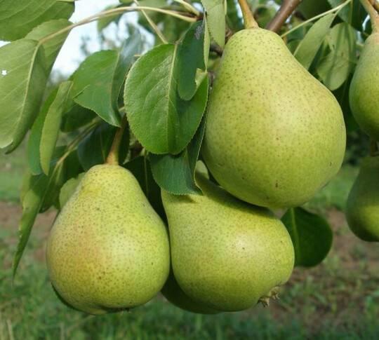 Груша бессемянка — описание сорта, фото, отзывы садоводов