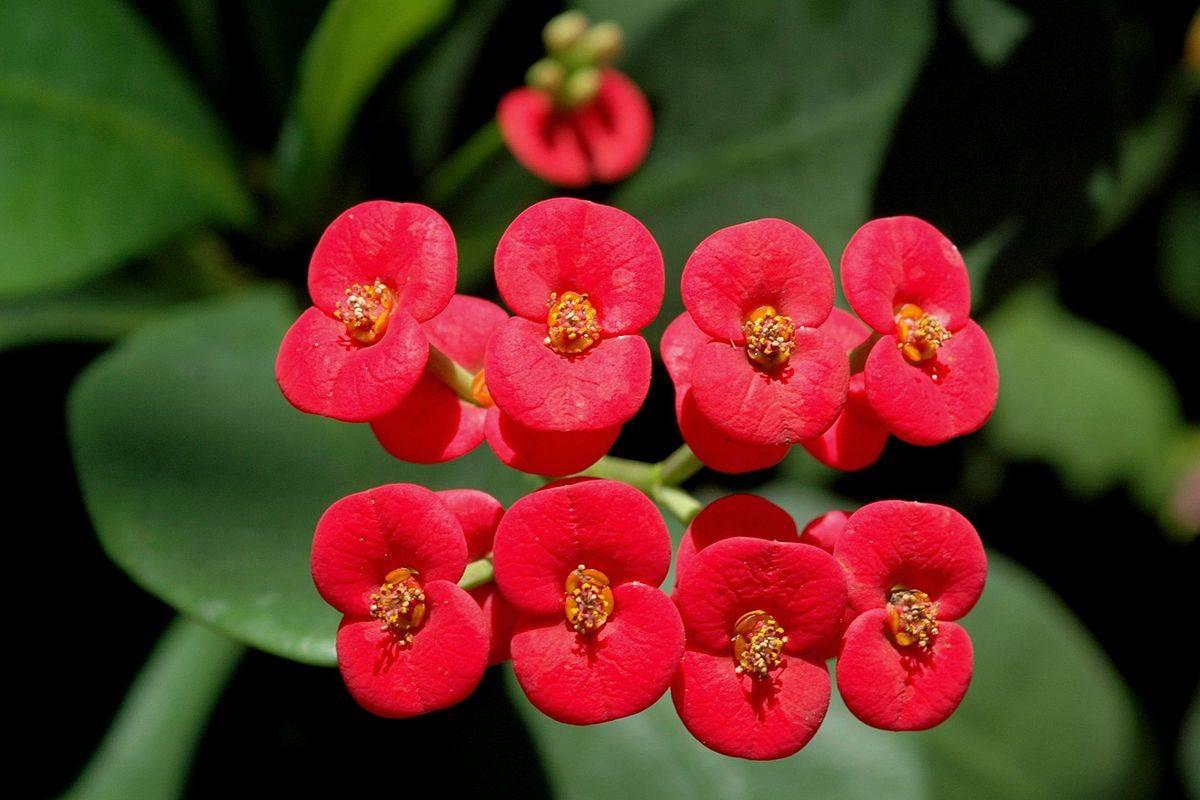Молочай комнатный: фото цветка, уход в домашних условиях, виды эуфорбии, размножение, польза