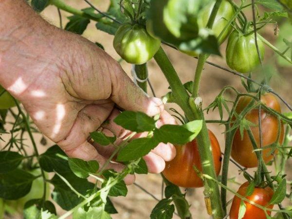 О том как формировать помидоры в теплице из поликарбоната в один, два, три стебля