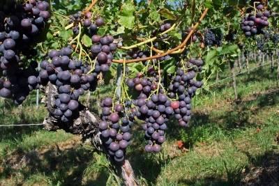 Кардинал виноград: описание и характеристика устойчивого сорта, выращивание и уход, болезни