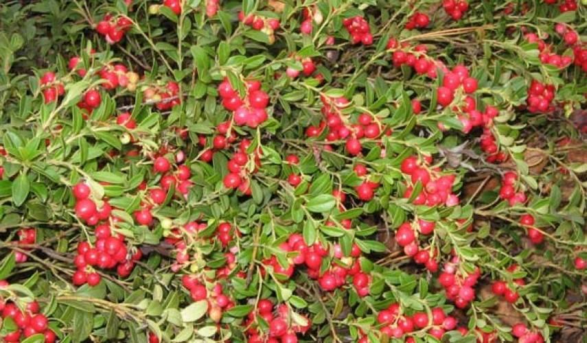 Брусника садовая: особенности посадки и ухода