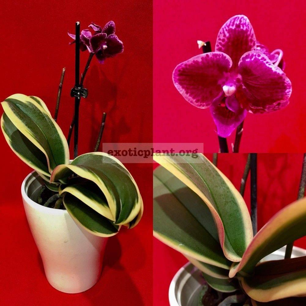 Виды орхидеи фаленопсис с названиями (46 фото): как определить сорт по цветкам? разновидности «чармер» и «биг лип»