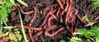Разведение калифорнийских червей в домашних условиях как бизнес