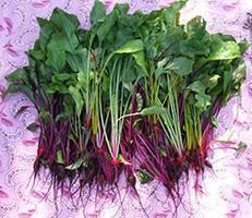 Правильная посадка свеклы семенами в открытый грунт: сроки и рекомендации