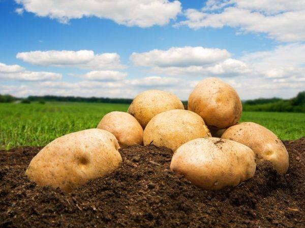 Картофель каменский - описание сорта, фото, отзывы