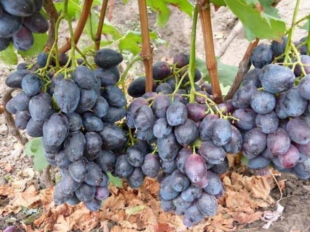 Любительская селекция винограда авторства в.у. капелюшного: описание гибридной формы «фурор» и ее особенностей