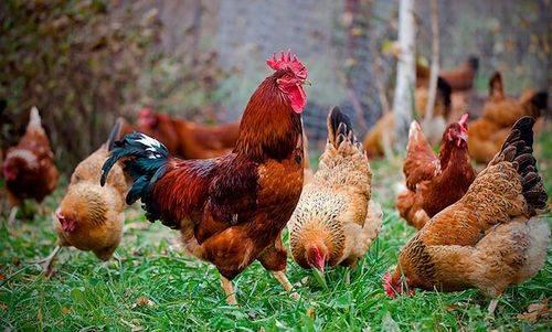 Московская черная порода кур: описание, отзывы, фото, видео