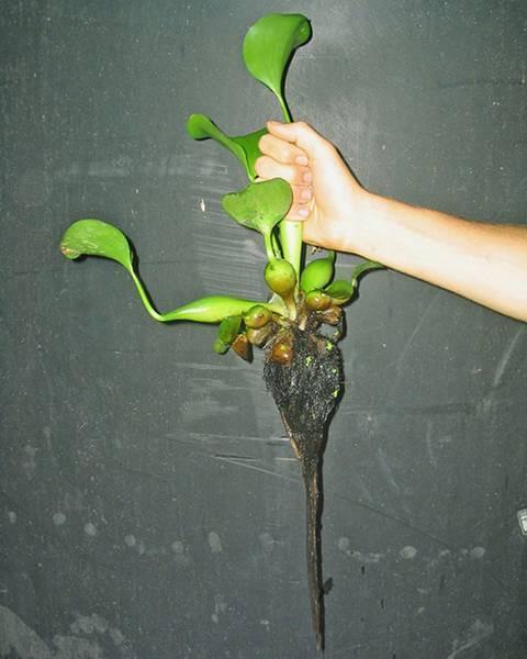 Водный гиацинт: посадка и уход