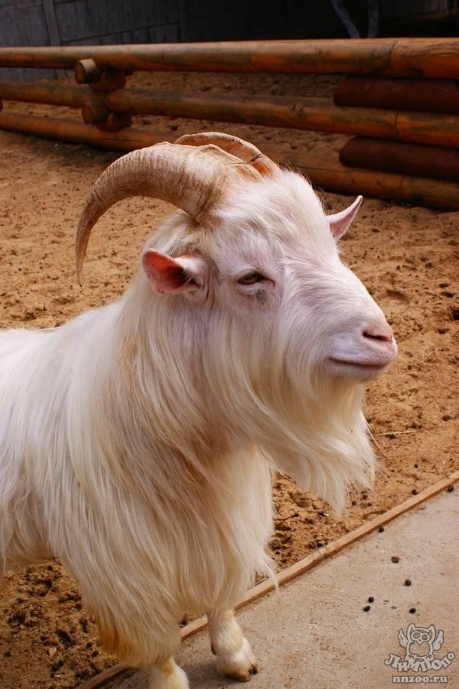 Общая характеристика и особенности содержания дамасской козы. как не ошибиться при выборе и покупке шами?