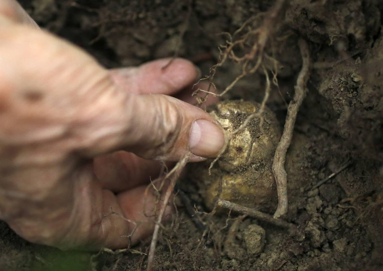Где в россии растут грибы трюфели: советы при поиске