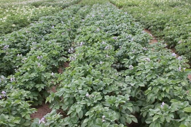 Картофель «голубизна»: сортовые характеристики и особенности выращивания