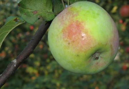 Описание сорта яблони московское зимнее: фото яблок, важные характеристики, урожайность с дерева