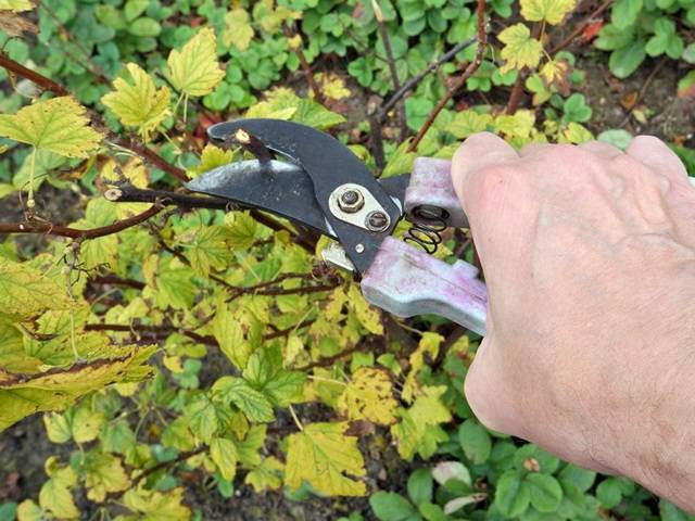 Обрезка смородины: как обрезать правильно осенью черную, схема подрезки кустов весной для новичков, когда лучше