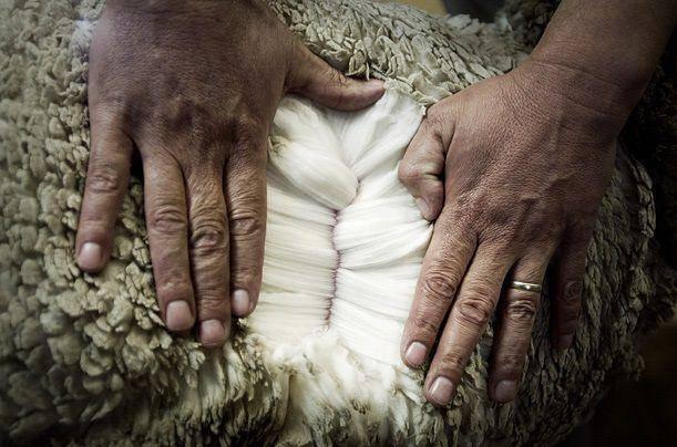Шерсть мериноса | мериносовая шерсть экстрафайн - что это такое
