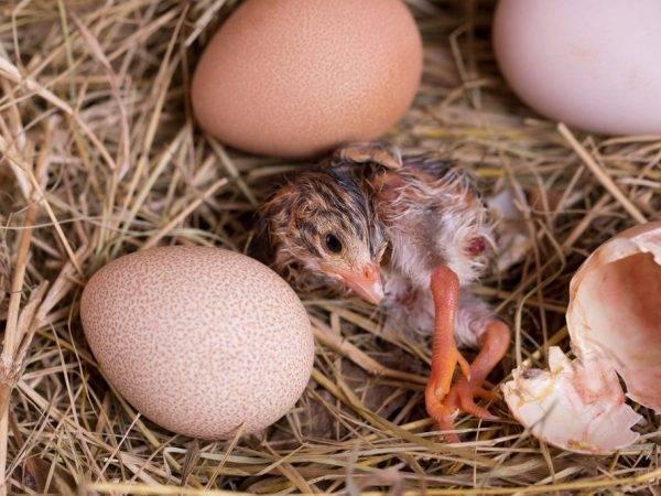 Инкубация яиц индоутки (мускусной утки) в инкубаторе в домашних условиях