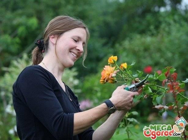 Обрезка роз на зиму для начинающих: как правильно обрезать плетистые, кустовые, чайно-гибридные, как подготовить