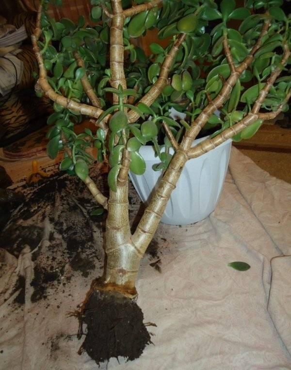 Болезни и вредители денежного дерева (толстянки): вянет, опадают и желтеют листья, фото