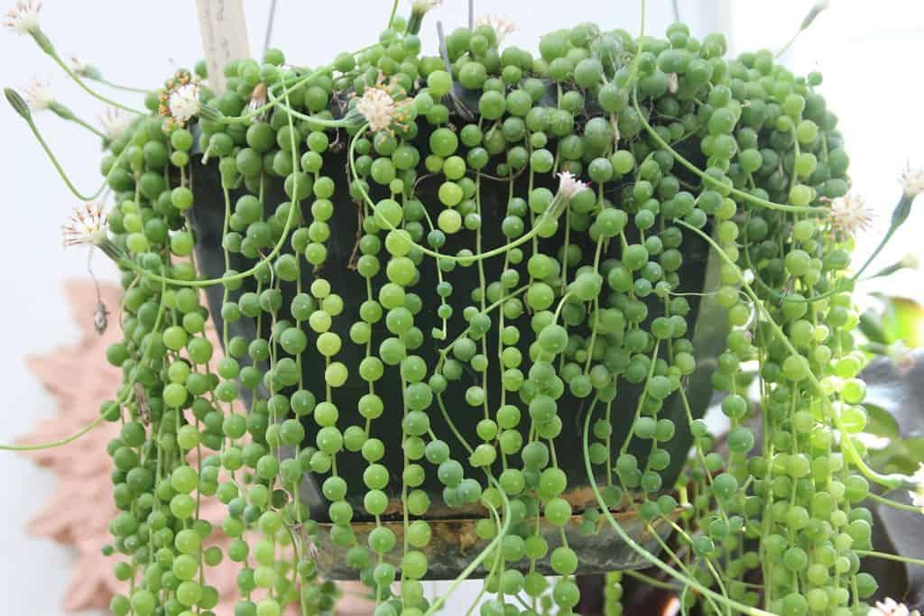 Ампельные комнатные растения: виды и секреты ухода