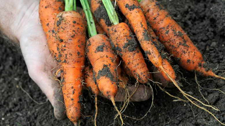 Подкормка моркови органическими удобрениями, народные средства