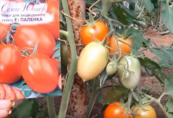 Томат митридат f1: описание и характеристика сорта, фото и отзывы об урожайности