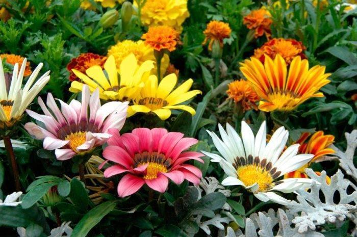 Цветок «Гацания»: фото, посадка и уход в открытом грунте