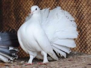 Кушаем голубей или как правильно их готовить (ловля, рекомендации, отзывы, фото, рецепты) / полевая кухня / непропаду